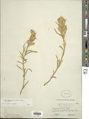 view Ericameria parryi (A. Gray) G.L. Nesom & G.I. Baird var. parryi digital asset number 1