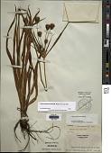 view Cyperus plukenetii Fernald digital asset number 1