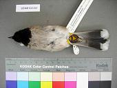 view Pycnonotus leucogenys mesopotamia digital asset number 1