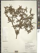 view Eryngium foetidum L. digital asset number 1