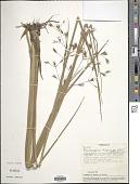 view Rhynchospora trispicata (Nees) Schrad. ex Steud. digital asset number 1