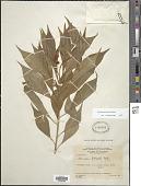 view Monnina latisepala S.F. Blake digital asset number 1