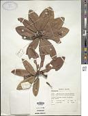 view Rhododendron zeylanicum Booth digital asset number 1