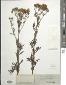 view Senecio erucifolius L. digital asset number 1