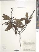 view Palicourea crocea (Sw.) Schult. digital asset number 1