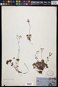 view Micranthes nudicaulis (D. Don) Gornall & H. Ohba digital asset number 1