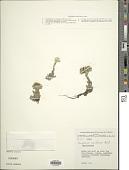 view Gnaphalium meridanum Aristeg. digital asset number 1