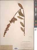 view Spiraea menziesii Hook. digital asset number 1