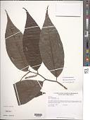 view Piper citrifolium Lam. digital asset number 1