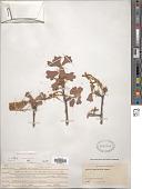 view Quercus marilandica (L.) Münchh. digital asset number 1