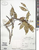 view Xanthophyllum zeylanicum Meijden digital asset number 1