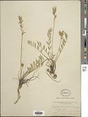 view Oxytropis lambertii var. bigelovii A. Gray digital asset number 1