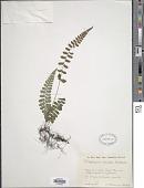 view Deparia conilii (Franch. & Sav.) M. Kato digital asset number 1