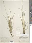 view Carex peckii Howe digital asset number 1