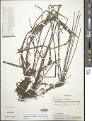 view Eleocharis acutangula (Roxb.) Schult. digital asset number 1