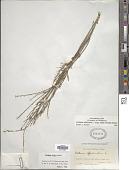 view Verbena officinalis subsp. halei L. digital asset number 1