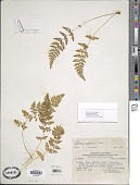 view Cystopteris fragilis var. apiiformis (Gand.) C. Chr. digital asset number 1