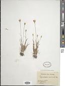view Rhynchospora armerioides J. Presl & C. Presl digital asset number 1