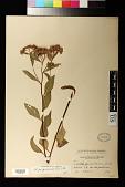 view Pluchea odorata (L.) Cass. digital asset number 1