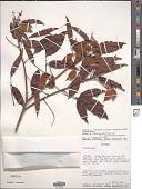 view Connarus venezuelanus var. orinocensis digital asset number 1