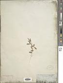 view Tephrosia bracteolata Guill. & Perr. digital asset number 1