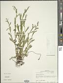 view Myosotis verna Nutt. digital asset number 1