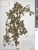 view Thalictrum pubigerum Benth. digital asset number 1