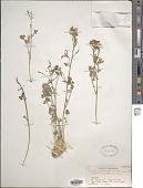 view Corydalis hindukushensis Wendelbo & Grey-Wilson digital asset number 1