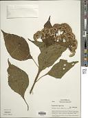 view Bartlettina pansamalensis (B.L. Rob.) R.M. King & H. Rob. digital asset number 1