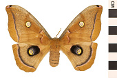 view Polyphemus Moth digital asset number 1