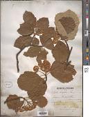 view Sorbus latifolia (Lam.) Pers. digital asset number 1
