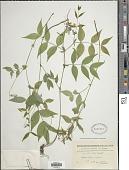 view Lathyrus vernus (L.) Bernh. digital asset number 1