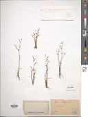 view Juncus tenageia Ehrh. ex L. f. digital asset number 1
