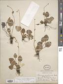 view Parnassia glauca digital asset number 1