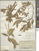 view Eugenia cyanocarpa (F. Muell.) Maiden & Betche digital asset number 1