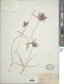 view Cyperus rotundus L. digital asset number 1