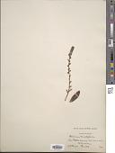 view Thompsonella minutiflora (Rose) Britton & Rose digital asset number 1