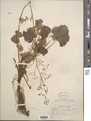 view Heuchera micrantha Douglas ex Lindl. digital asset number 1