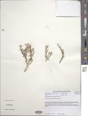 view Mesembryanthemum guerichianum Pax digital asset number 1