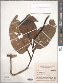 view Piper longispicum C. DC. digital asset number 1