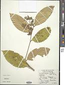 view Xanthophyllum affine Korth. ex Miq. digital asset number 1