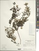 view Mikania barahonensis Urb. digital asset number 1