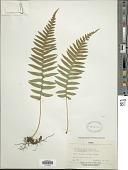 view Polypodium glycyrrhiza D.C. Eaton digital asset number 1