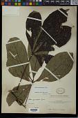 view Vitex grandifolia Turcz. digital asset number 1
