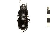 view Ground Beetle digital asset number 1