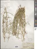 view Cleome heratensis Bunge & Bien. ex Boiss. digital asset number 1