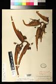 view Heliconia collinsiana var. velutina W.J. Kress digital asset number 1