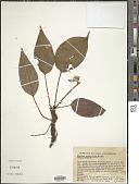 view Monolena primuliflora Hook. f. digital asset number 1