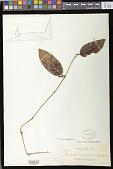 view Trichosporum crassifolium Elmer digital asset number 1
