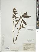 view Amasonia angustifolia Mart. & Schauer digital asset number 1